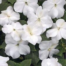 Impatiens Walleriana -Baby White - 50 Seeds
