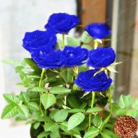 50 Pcs Seeds Rose Bonsai Blue Flowers Rare Perennial Plants Home Garden NEW 2019