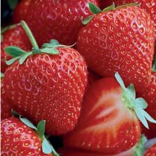 10 Allstar #1 strawberry living rooted plants.Zones 4-8 Not Dormant