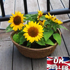 50 Mini Sunflower Seeds Yellow Flower Dwarf Summer Plant DIY Gift Kids Garden