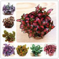 Fittonia Verschaffeltii Bonsai Mini Balcony Flowers Home Garden 100 Pcs Seeds F