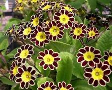 Primula Victoriana 'Gold Lace' Primrose Perennial Plug Plants Pack x6