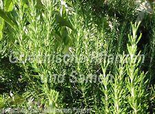 Rosmarin 50 graines frais medical et Plante Aromatique Herbes balcon seau