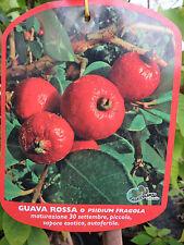 Guavenbaum Psidium guajava Guave rossa rosa Erdbeerguave ca. 160 - 180 cm