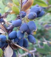 Berberitze - Berberis Hispanica - 100 Saatgut - Seeds