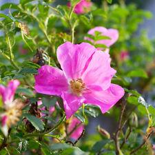 1 x Dog Rose 10-20cm Wild Rose Hedging Plant Shrub Wild Briar (Rosa Canina)
