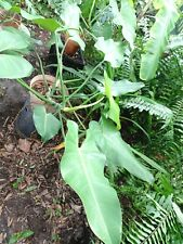 Philodendron Erubescens Emerald Green Giant Size. 2 Types Plants ?