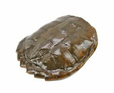 "Vintage Taxidermy 11"" Common Snapping Turtle Shell Old Skeleton Bones Hunting #6"