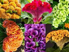 GIANT COCKSCOMB MIX / RED PURPLE GREEN GOLD YELLOW / 3-4 FT STALKS / SPECTACULAR