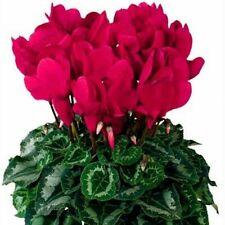 25 pcs Cyclamen seeds, perennial bonsai flower seeds. #186