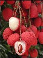 Lychee Subtropical Seasonal Fruit,LITCHI CHINENS 3 Fresh Seeds Thai V.Rare Sweet