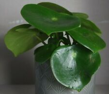 Peperomia 'Raindrop' (Peperomia polybotrya) – Indoor Plant, Potted in a 11cm Pot