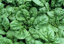 1200 BLOOMSDALE SPINACH Seeds Long Standing Spinacia Oleracea - COMB S/H