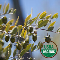 Jojoba Oil - Organic, Golden (Simmondsia Chinensis) - FREE SHIP 1 oz. - 16 oz.