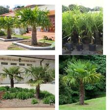 Windmill Palm Tree Tropical Live Plant Yard Hardy Outdoor Garden 3 Gallon NEW