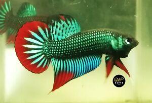 LIVE BETTA FISH MALE GREEN RED CRESCENT WILD IMBELLIS (WT82)