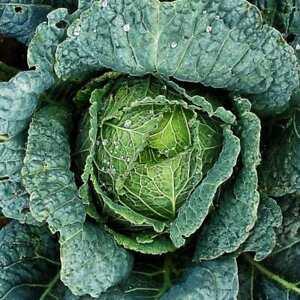 200 Seeds - Cabbage 'Savoy Green Vertus' - Cool season crop  - vegetable - N109A