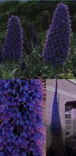 Wächst im Blumentopf zu unglaublicher Größe : Blauer Riesen-Natternkopf / Samen