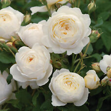 50 Seeds/Pack Claire Austin Rare White Shrub Rose Flower Seeds