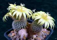 REAL FRESH Frailea Densispina 10 seeds rare cactus  succulent plant