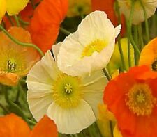 POPPY seeds Iceland Poppy Victory Giants aka Artists Glory 200 flower seeds