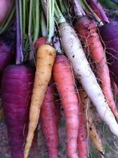 600 x Seeds Heirloom Carrot Colour Mix Rare Heritage NON GMO Organic