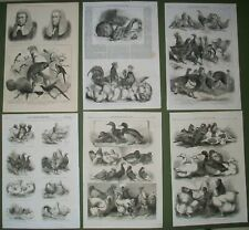 Volaille Oiseau Pigeon Lapin Exposition 6 ANTIQUE PRINTS anerley Birmingham 1856