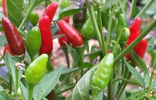 Catastrophic Hot Zimbabwe Birds Eye Chilli - 20 Seeds