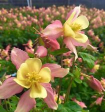 Aquilegia caerulea Origami Pink Yellow Starter Plant Columbine Zone 3-8