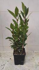 Laurus Nobilis -vaso 10cm- Pianta di Alloro Aromatiche siepe