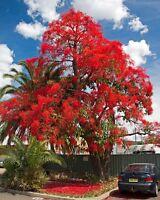 7 Samen Flammenbaum - Brachychiton acerifolius - Flaschenbaum - Flame Tree seeds