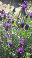 200 Samen Schopflavendel, Sp. Lavendel (Lavandula stoechas) Heilpflanze seeds