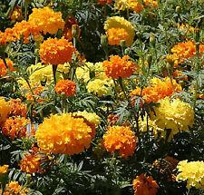 MARIGOLD CRACKER JACK FLOWER SEEDS - CLASSIC - BULK