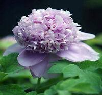 Purple Hollyhock Flower China's Peony Seeds Paeonia suffruticosa Tree DIY Garden