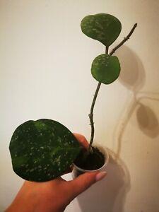 Hoya obovata splash plant house plant waxplant