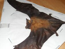 TYLONYCTERIS PACHYPUS LESSER BAMBOO SPREAD REAL BAT INDONESIA TAXIDERMY