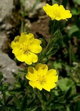 Potentilla recta Warrenii in 50mm forestry tubes perennial plant