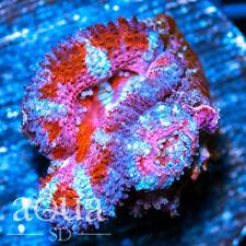 New listing Asd - 044 Peppermint Acan - Wysiwyg - Aqua Sd Live Coral Frag