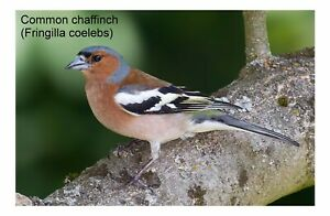 Common chaffinch Bird Metal Aluminium House Sign Plaque Poster 5 Sizes Gift