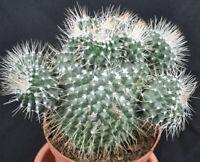 Kakteen,Mammilaria spinosissima unpico,Große Alt- Pflanzen,Nr.67