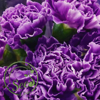 Seeds Carnation Purple Flower Balcony Garden Plants Dianthus Caryophyllus 100Pcs