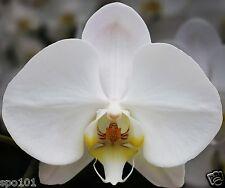 """Phalaenopsis Sogo Yukidian """"V3"""" Large White. Four Spikes."""