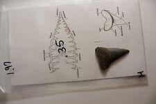 "1.97"" Megalodon Era Shark Fossil - Mako"