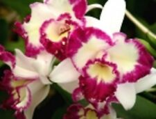 "Cattleya Nice Holiday 'Suntopia' Orchid Plant Shipped in 2.5"" Pot"
