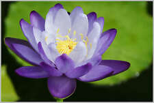 Two-Color/Blue&White/water lily/Bowl-Pond Lotus/5 Fresh seeds/Blue Enchantress