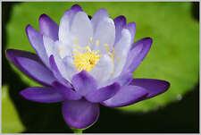 A due colori / Blu & Bianco / NINFEA / bowl-pond LOTUS / 5 Semi Freschi / BLU Enchantress
