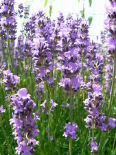 Essential oil lavender true type Maillette pure and natural 250 ml