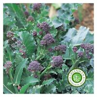 500 Graines de CHOU BROCOLI EARLY PURPLE SPROUTING. Graines légumes anciens