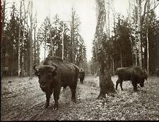 2 photos anciennes . Pologne .les derniers bisons d'Europe . vers 1920 .
