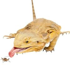 Live Crickets for Reptiles - Grown Organic 100 Bulk Feeder Cricket - XS, S, M, L